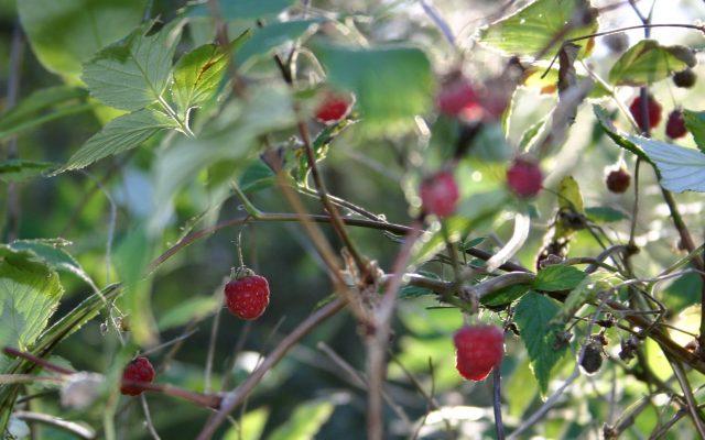 berries-63712